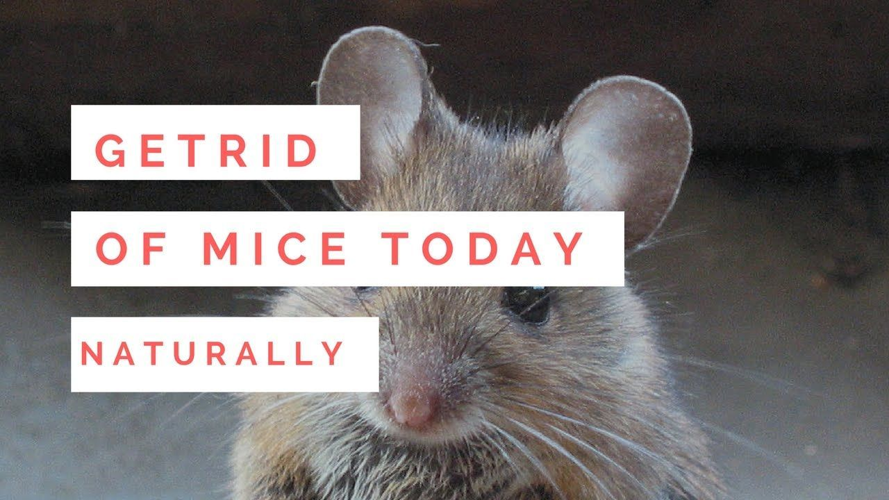 How To Get Rid Of Mice Naturally With Peppermint Oil Getting Rid Of Mice How To Get Rid Rid