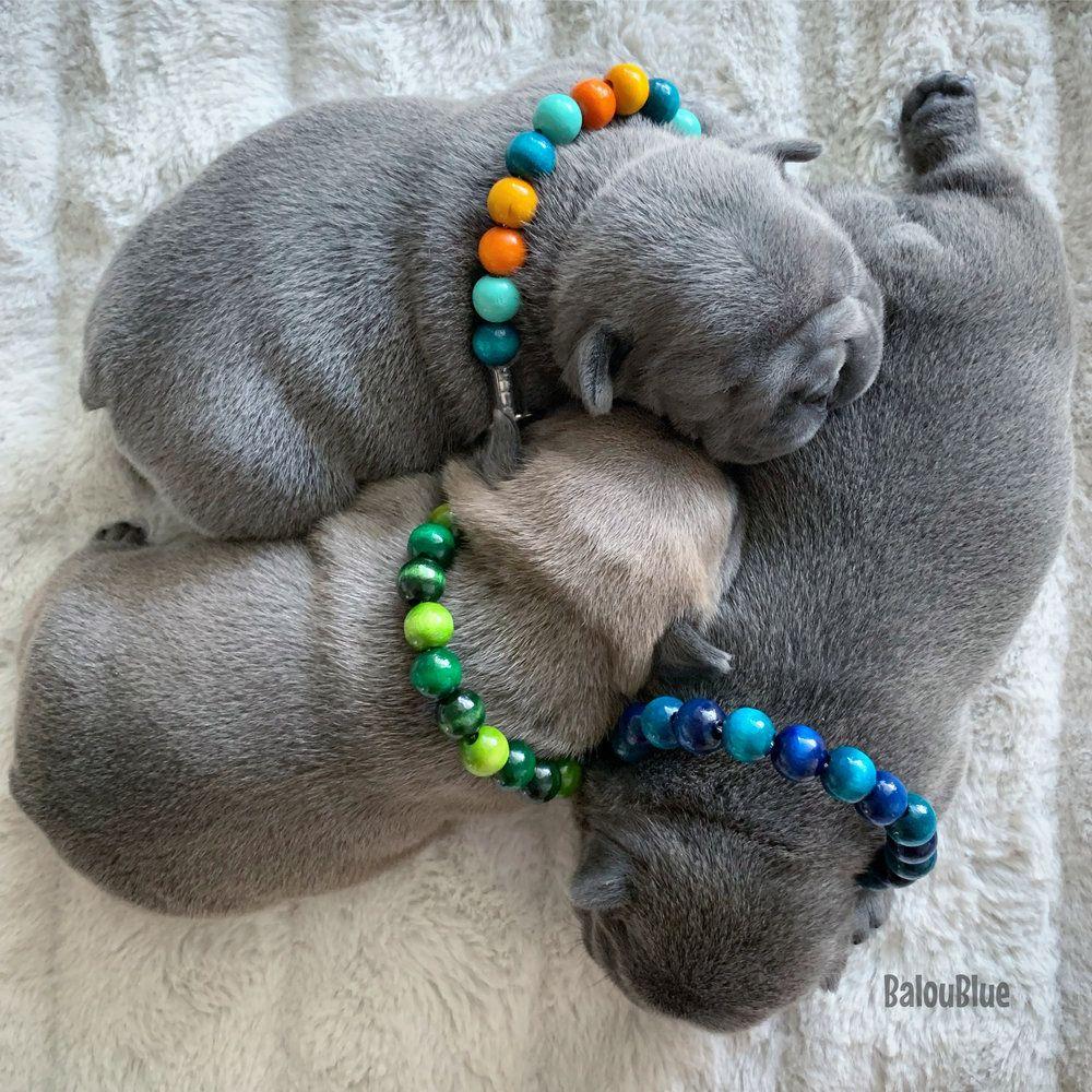 Balou Blue & the Baloubies. AKC French Bulldogs & their