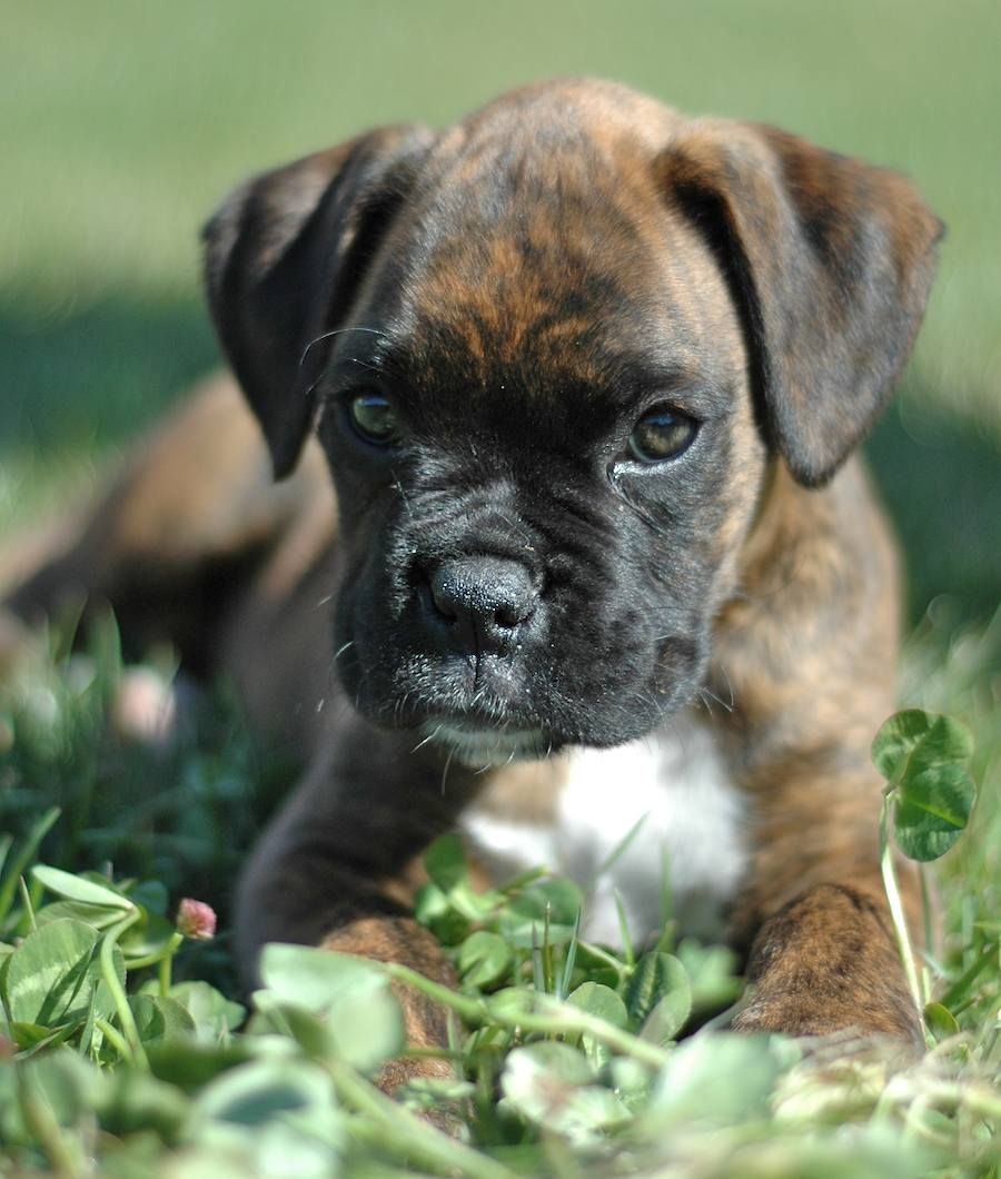 Rumbles Is His Name Boxer Puppies Brindle Boxer Boxer Dogs