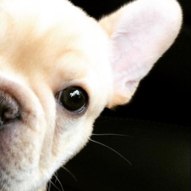 Source: batpigandme.tumblr.com  Walter, the French Bulldog Puppy http://ift.tt/294B8jM on Frenchie Friends Being Fuzzy via http://ift.tt/29ddnd3