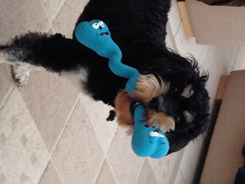 Bentley showing off his toy from all4paws. Add in the fact he's on Eden and it's no wonder he looks so happy and handsome!