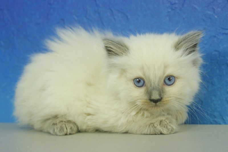 Vanna Blue Point Ragdoll Cat Kitten From Www Ragdollkitten Us Kittens Teacup Kitten Ragdoll Kitten