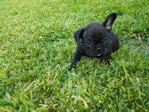 Litter Of 5 French Bulldog Puppies For Sale In San Antonio Tx
