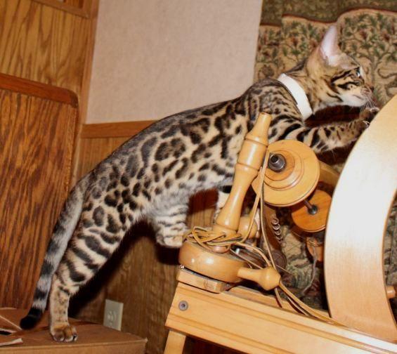 Bengal cat rescue wv