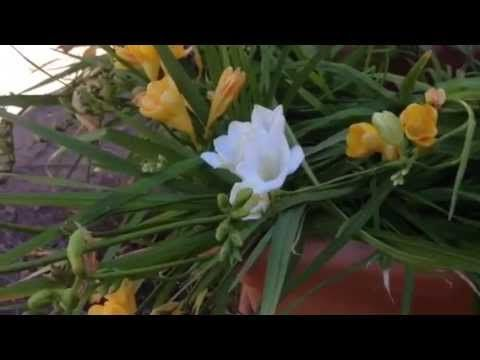 How To Care For A Potted Freesia After Blooming Freesias Are Extremely Popular Flowers In Gardens Freesia Flowers Planting Succulents Indoors Fragrant Flowers