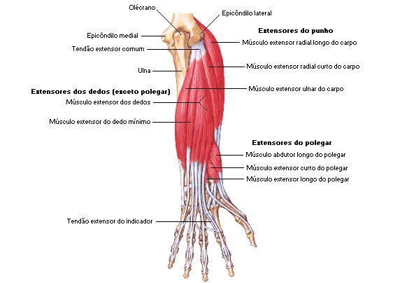 Aula de Anatomia - Sistema Muscular - Antebraço | Anatomy ...