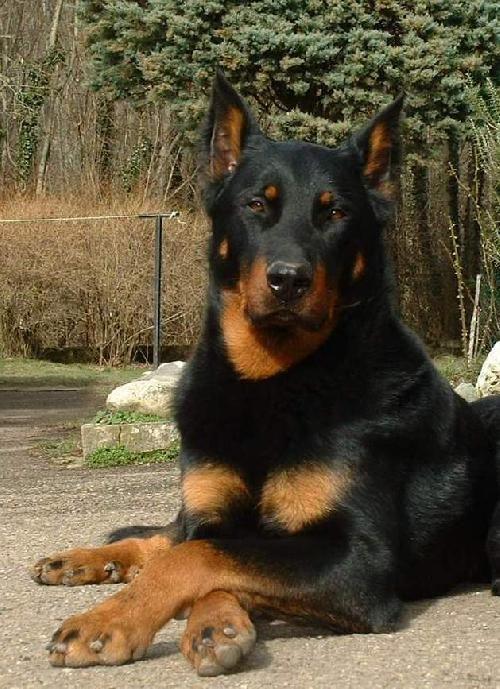 Beauceron - Berger de Beauce - Bas-Rouge | Rare dogs, Wild ...