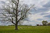 Sheep on a Farm Veggoverføringsbilde av Henri Silberman