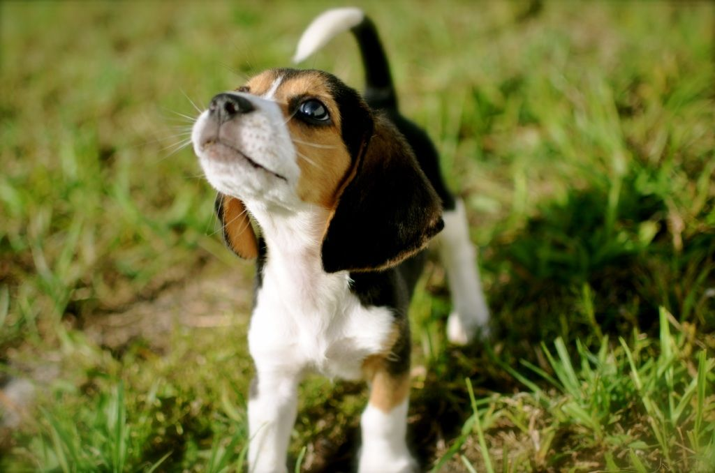 Why You Should Get A Beagle Cute And Funny Dog Tribute To All