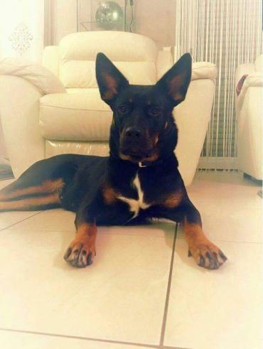 Laika Mischling 2 5 Jahre Vertraglich Rettungshunde Haustier Ausgestopftes Tier