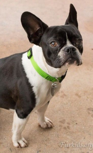Boston Terrier and French Bulldog mixed Dog for Adoption