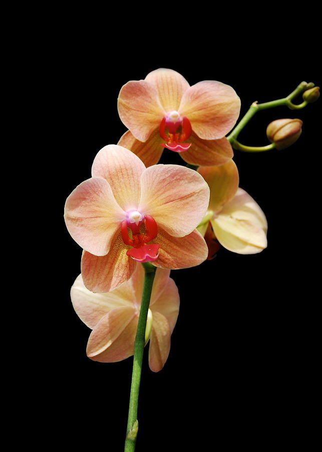 Peach Orchids My Favorite Flower Orchid Photography Orchid Greeting Card Orchid Flower