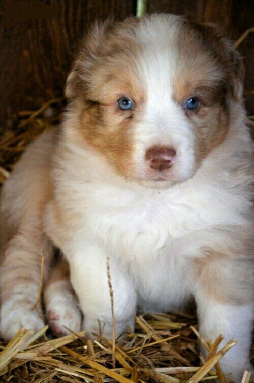 Red Merle With Blue Eyes Australian Shepherd Puppy Australian