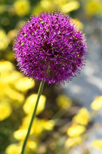 Allium Fireworks Plants Dandelion Seed