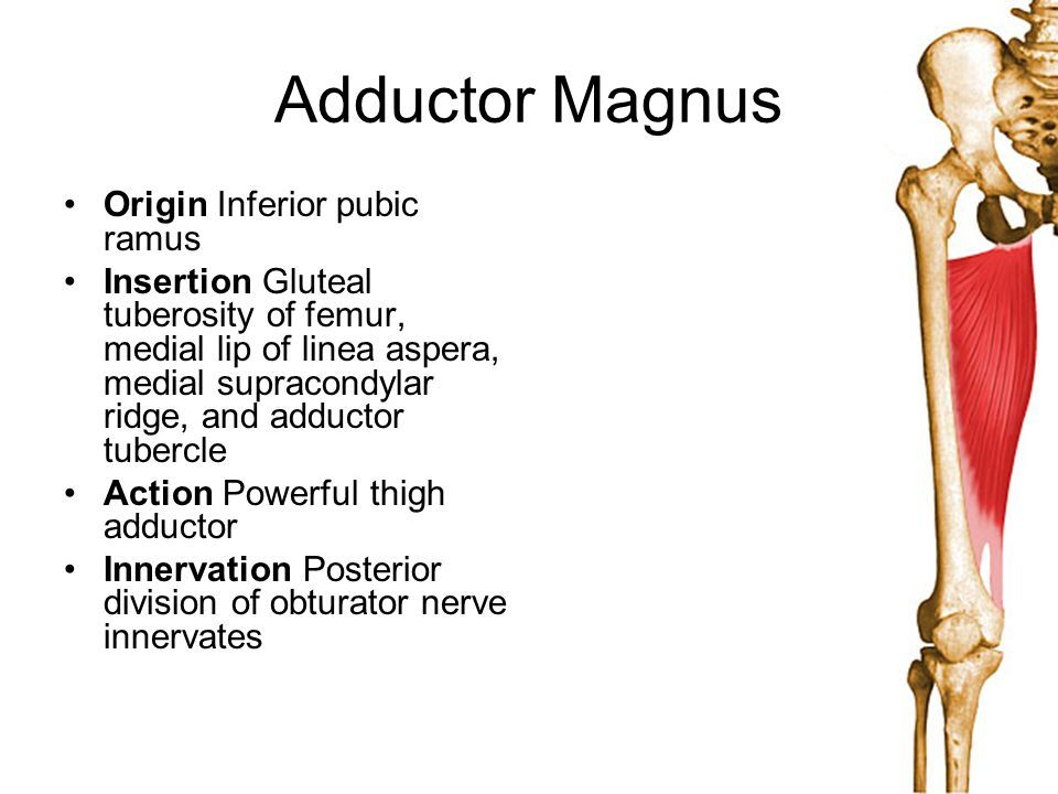 adductor magnus origin and insertion - Google Search