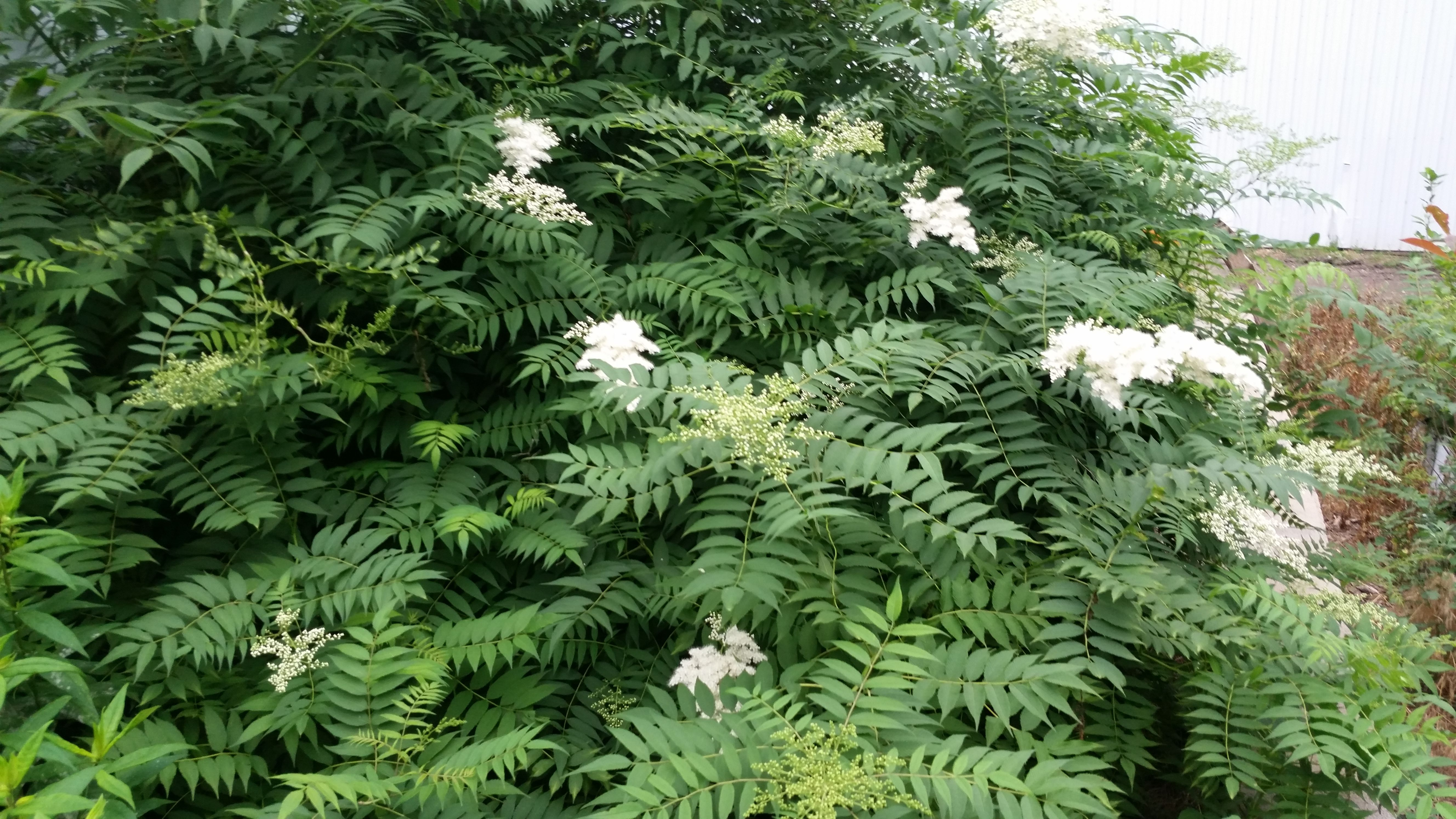 Ash Leaf Or False Spirea Is A Large Spreading Shade Loving Shrub It Grows In Part Shade And Produces Loads Of Crea Shade Loving Shrubs Trees To Plant Plants