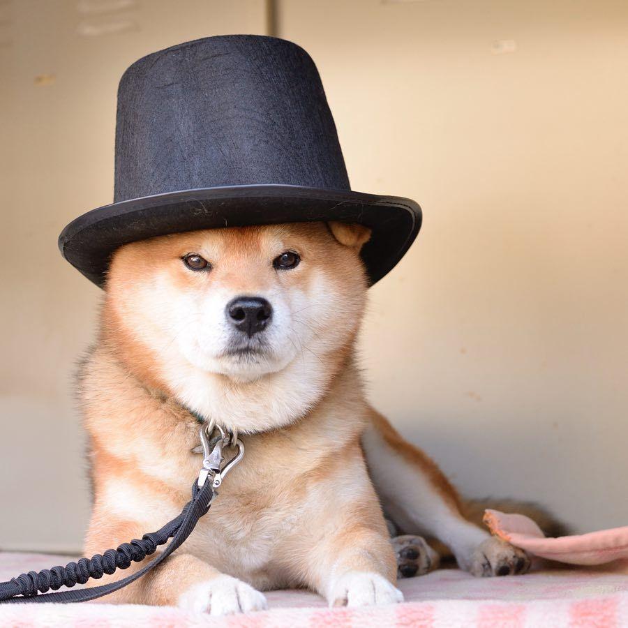 Shiba Dog Animal Cute Funny Shiba Inu Shiba Inu Doge Shiba