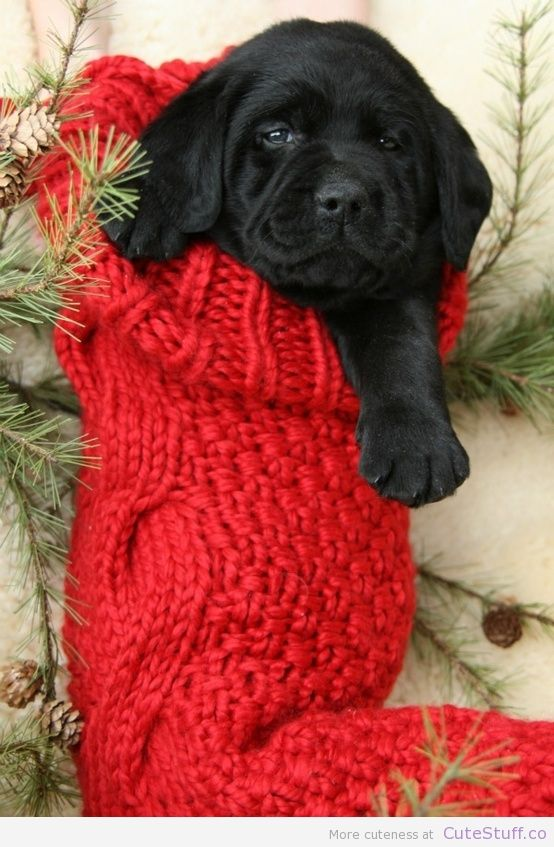 good morning christmas funny pics | Black Lab Puppy ...