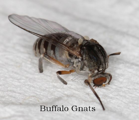 Image result for buffalo gnat in indoor plants   Gnats ...