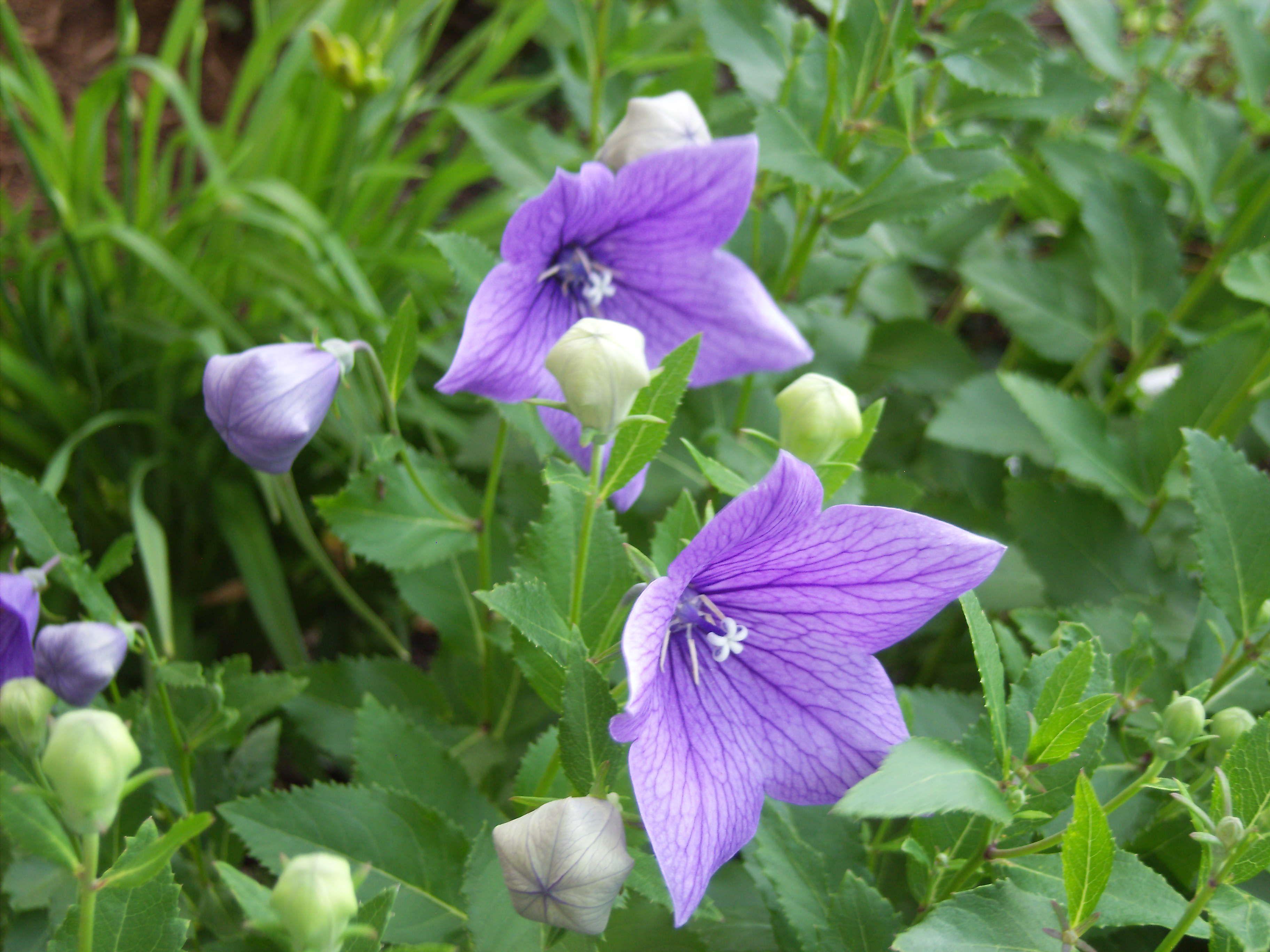 Sentimental Blue Balloon Flower The Garden Up Close Pinterest