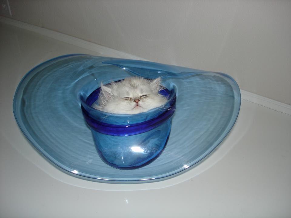 Chinchilla silver persian kitten in a Blenko glass cowboy hat 💙 Copy🐾tCat fd85099e64e