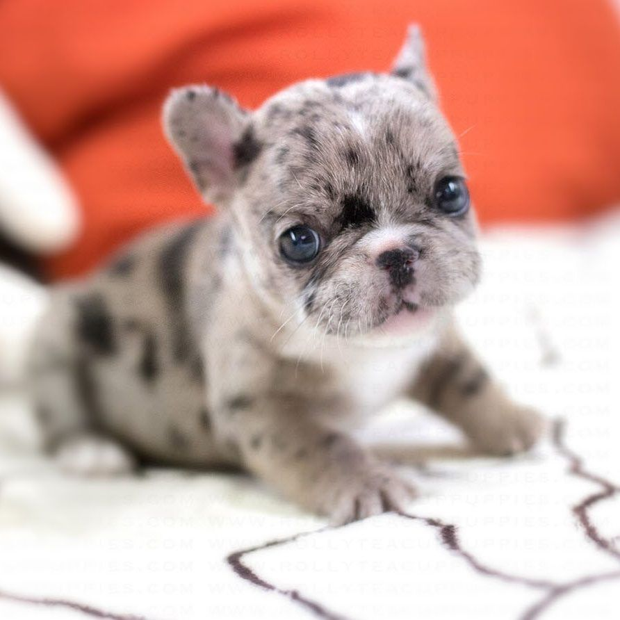 Rolly Merle French Bulldog In 2020 Merle French Bulldog French Bulldog Miniature French Bulldog