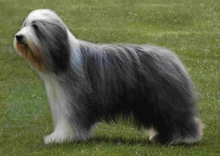 Find Bearded Collie Breed Info Search Bearded Collie Puppies For