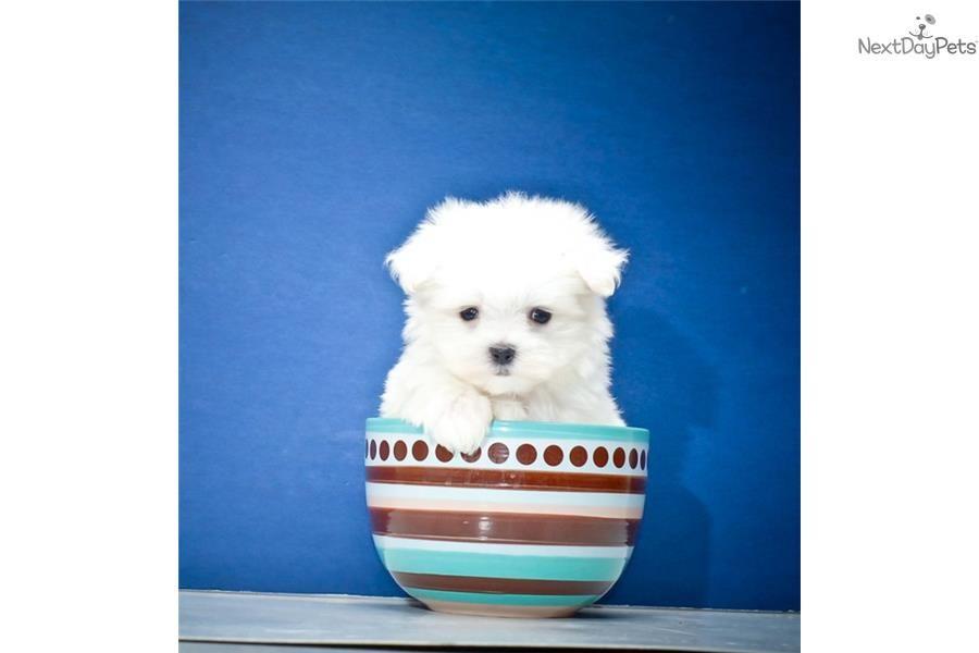 Maltese Puppy For Sale Near Columbus Ohio 954c56d5 6c61 With