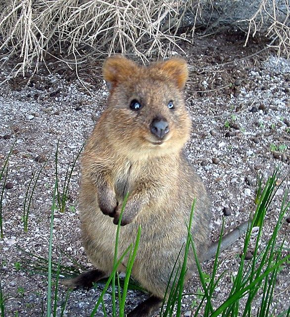 Animals That Start With Q HHere Is A List Of All The Animals We - 15 photos that prove quokkas are the happiest animals in the world