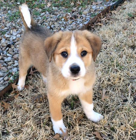Chloe The Mixed Breed Australian Shepherd Golden Retriever