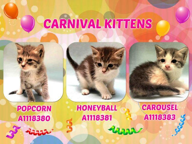 **MUST BE PULLED BY A NEW HOPE RESCUE**CARNIVAL KITTENS