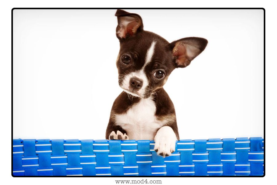 Boston terrier chi mix looks like radar looked as a