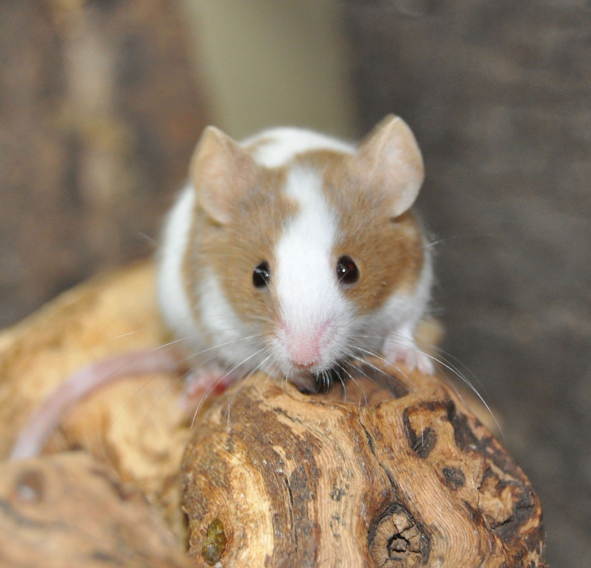 how to get your pet mouse to like you