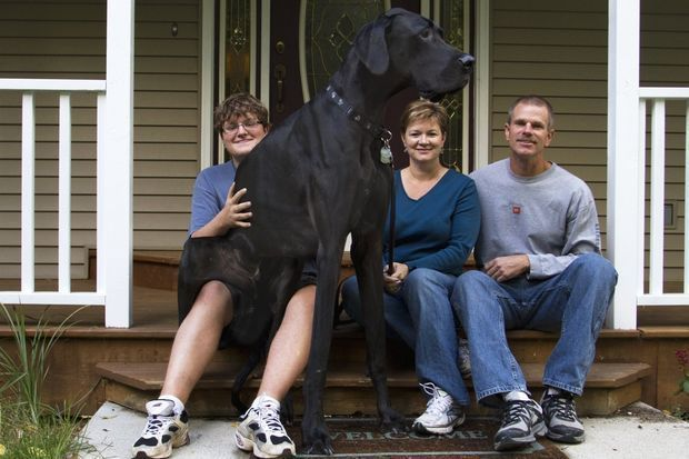 Zeus World S Tallest Dog Dies In Otsego Michigan World S