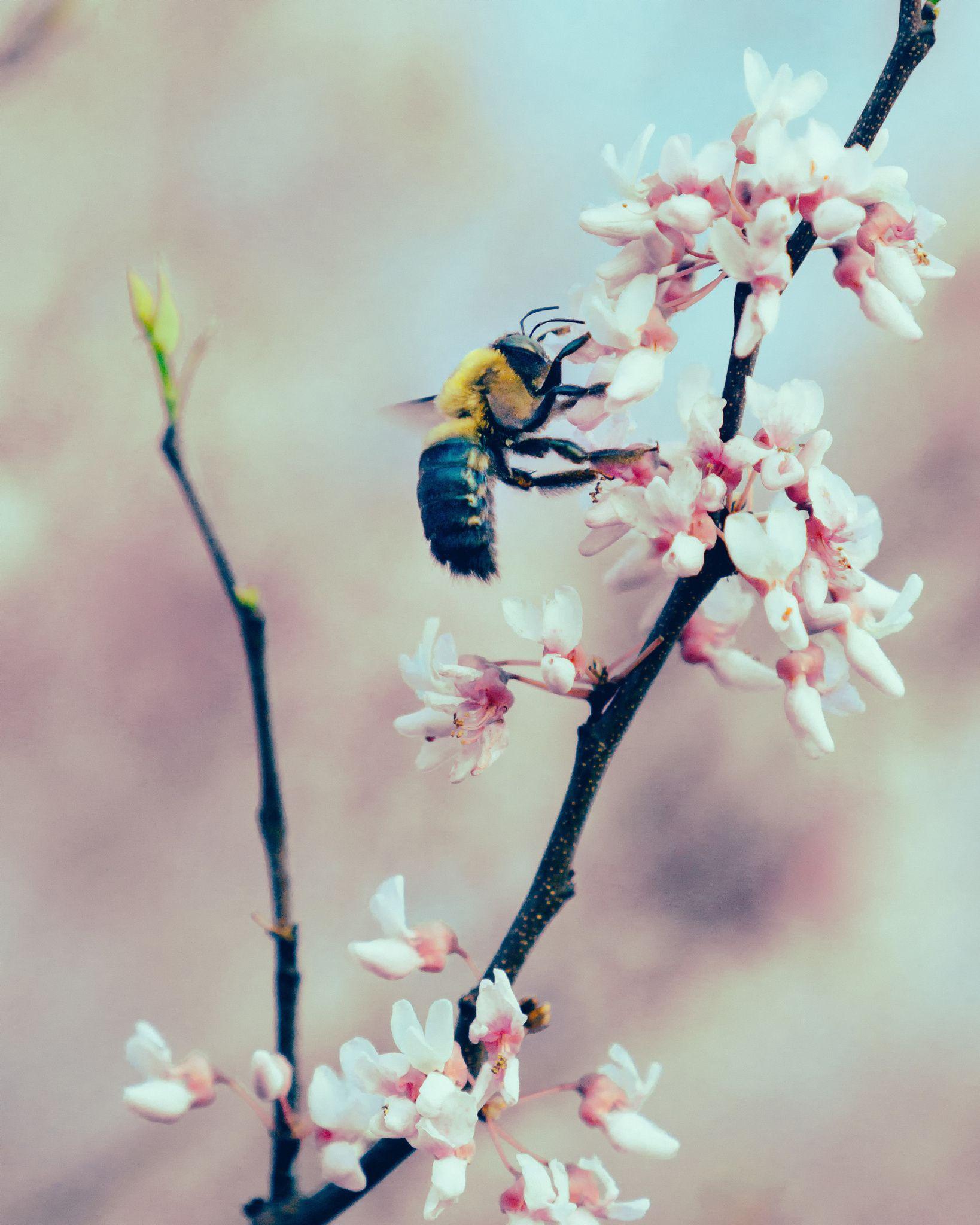 Bee on Redbud 8 by Rick Stufflebean