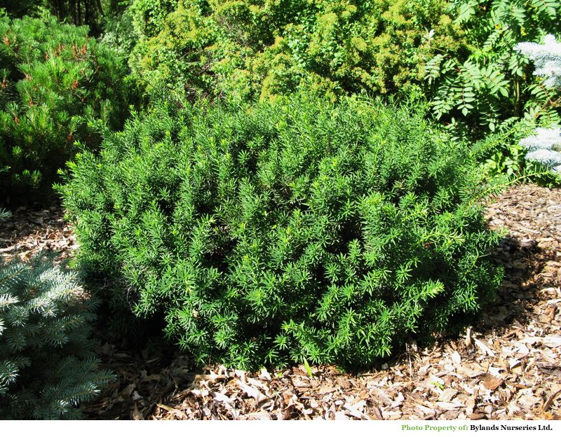 Morden Upright Yew Taxus Cuspidata Morden With Images
