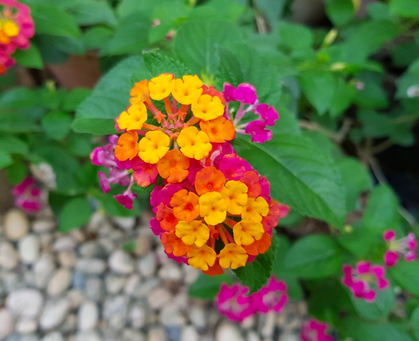 Lantana Flower Fleurs Jardins Nature