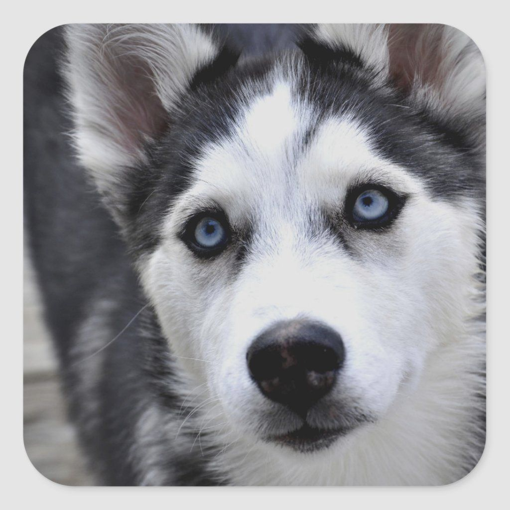 Husky Puppy Stickers Zazzle Com Husky Puppy Husky With Blue Eyes Husky
