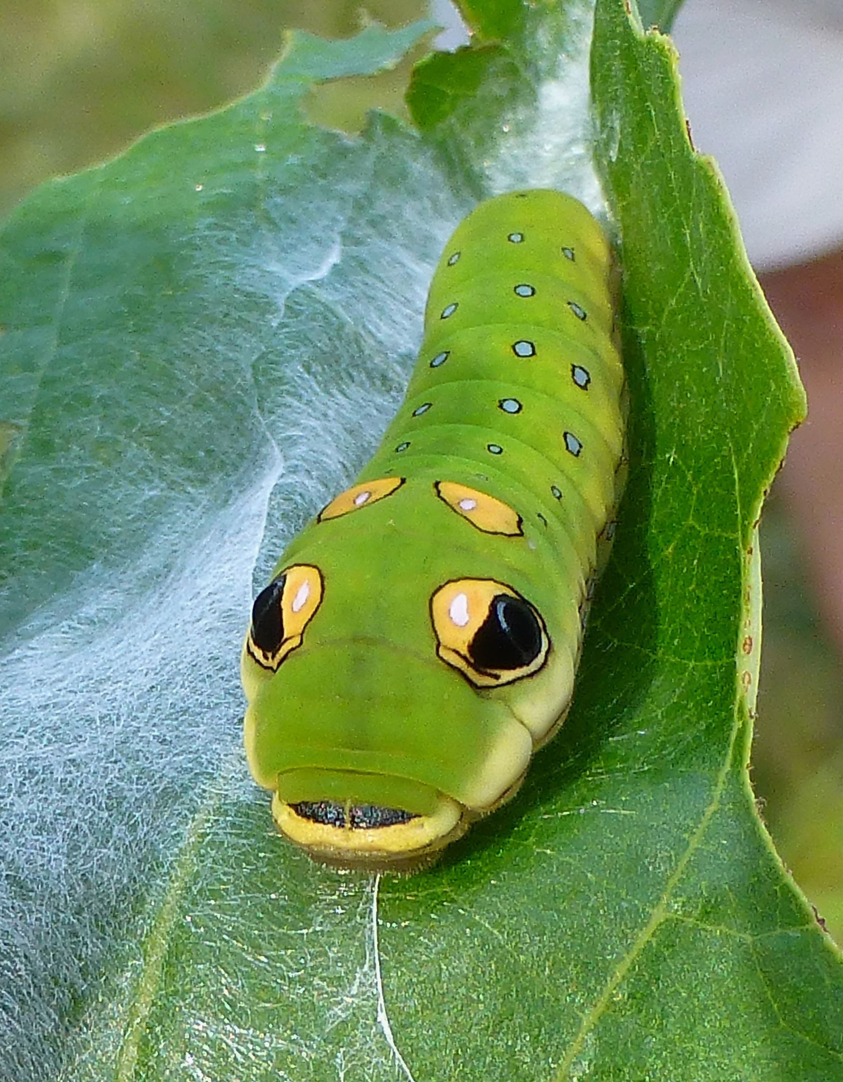 Swallowtail Caterpillars Also Have Another Defense