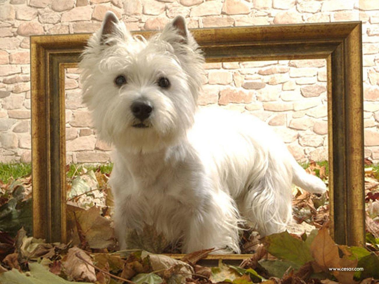 West Highland White Terrier Wallpaper Free Westie