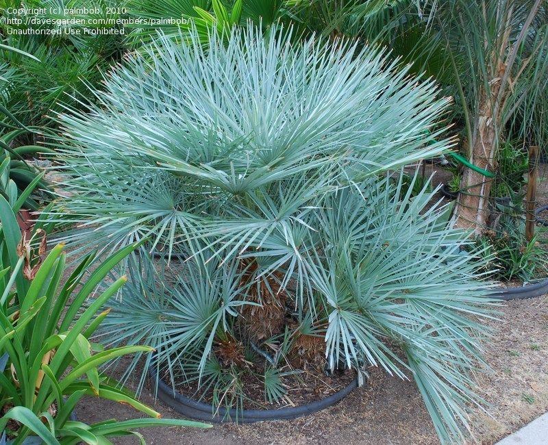 Blue Mediterranean Fan Palm Chamaerops Humilis Var