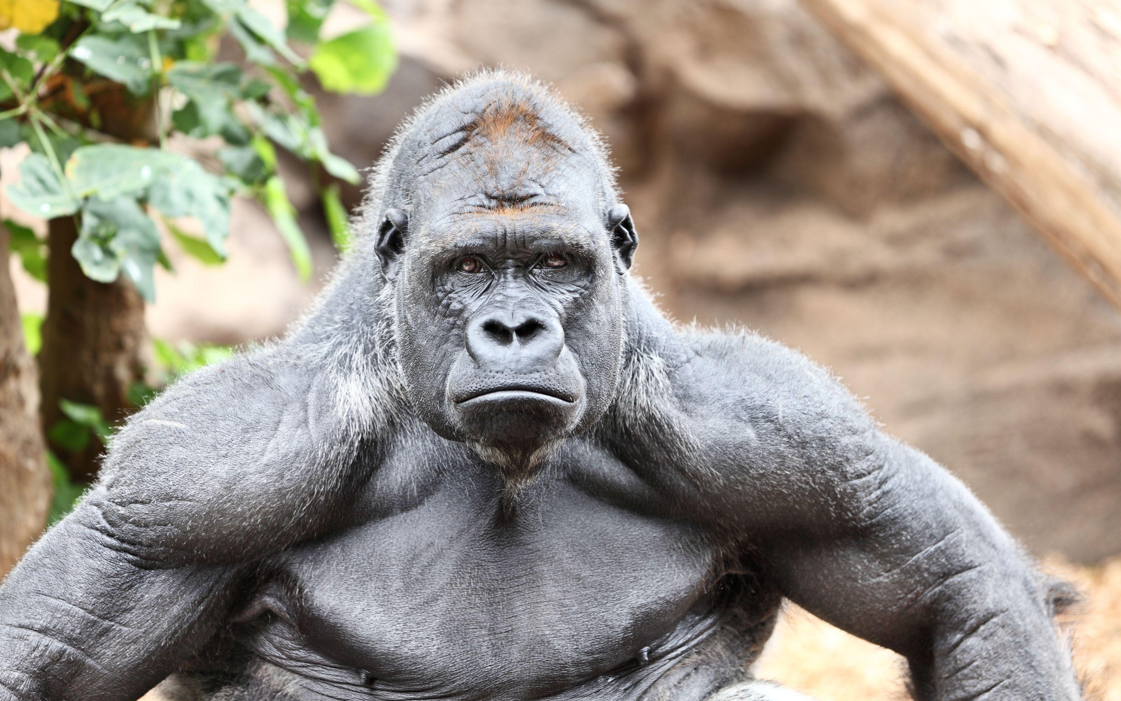 Muscular Gorilla http://ift.tt/2vwU06u | Who\'s Cute? | Pinterest