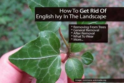 Hedera Helix Care How To Grow English Ivy Plants English Ivy