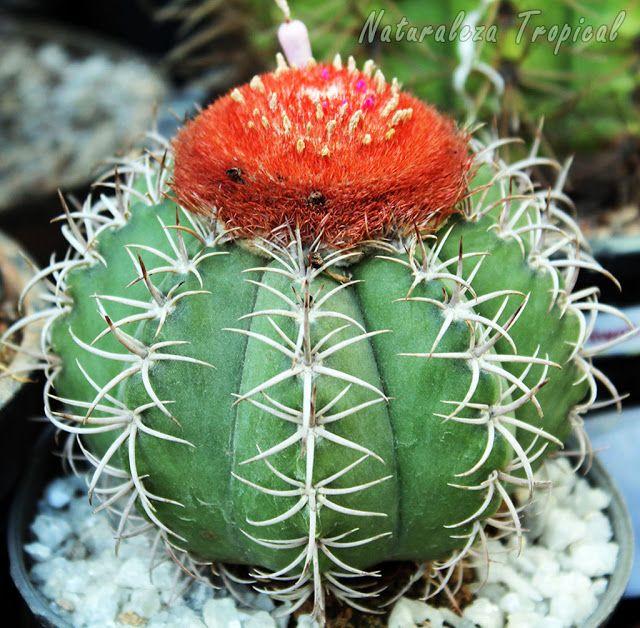Cactus Melocactus matanzanus