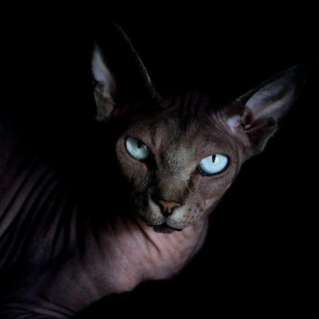 Black Sphynx With Blue Eyes Chat Sphynx Chat Sans Poils Sphynx