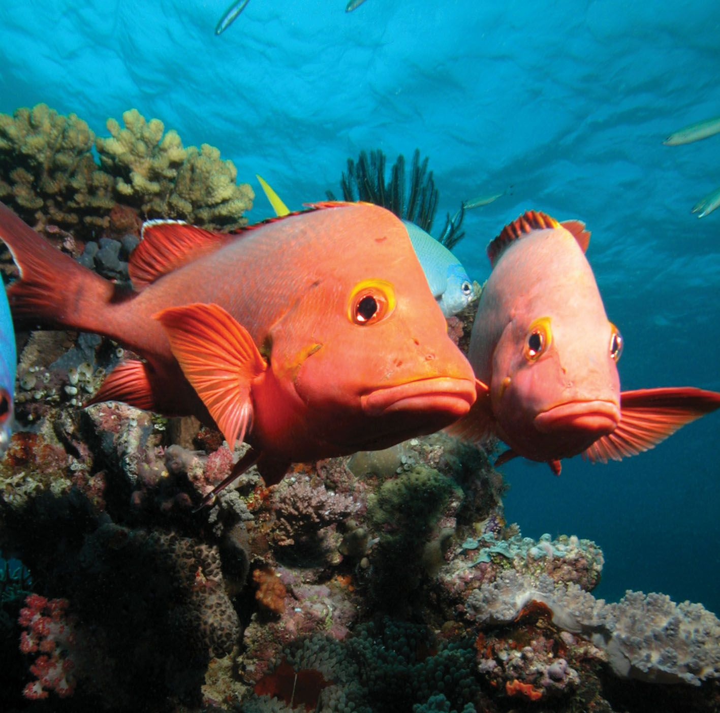 Two-tropical-Red-Fish-at-Coral-Reefs.jpg 1.417×1.404 piksel