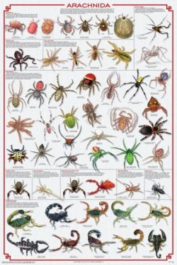 Arachnids poster great for science area reptiles mammals spiders chart also best images bugs spider webs rh pinterest