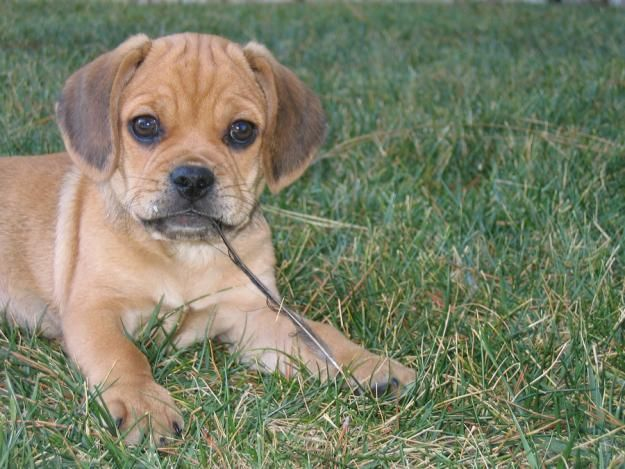 Hello I Am A Puggle Yes I Am Pretty Much Unbelievably Adorable