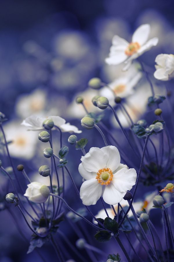 Love windflowers