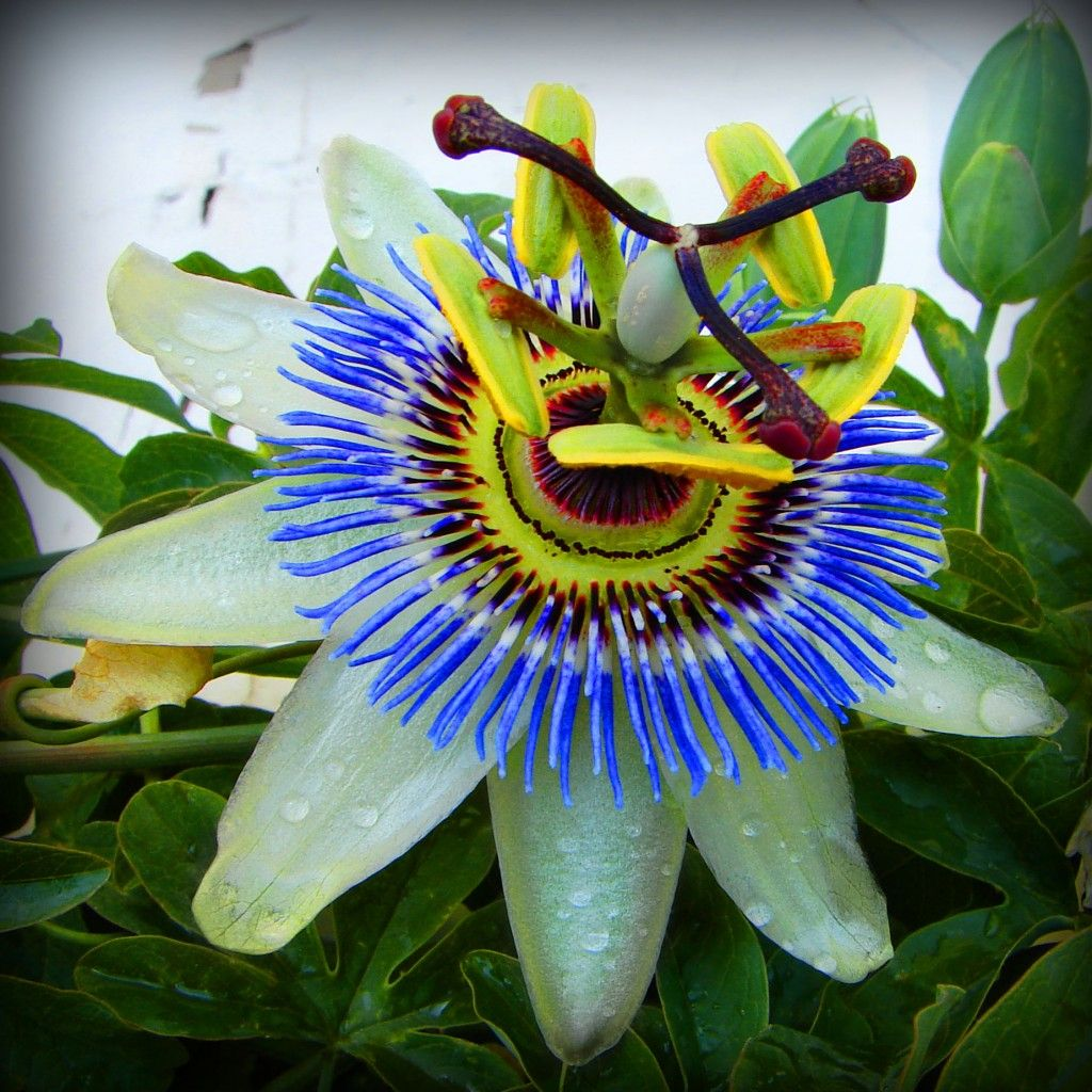 Passion Flowers In Costa Rica Passion Flower Rare Flowers Blue Passion Flower
